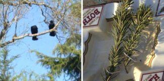 Familia de cuervos agradece al hombre que les ayudó con pequeños regalos