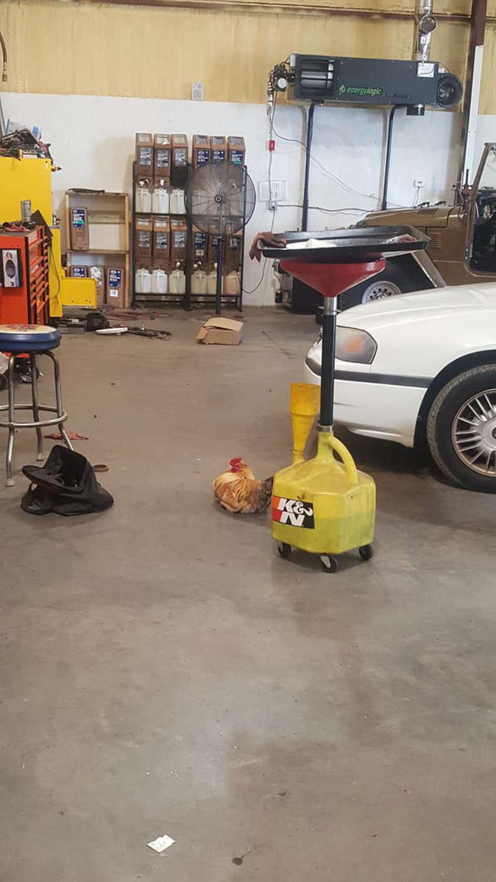 Gallo trabaja en el taller