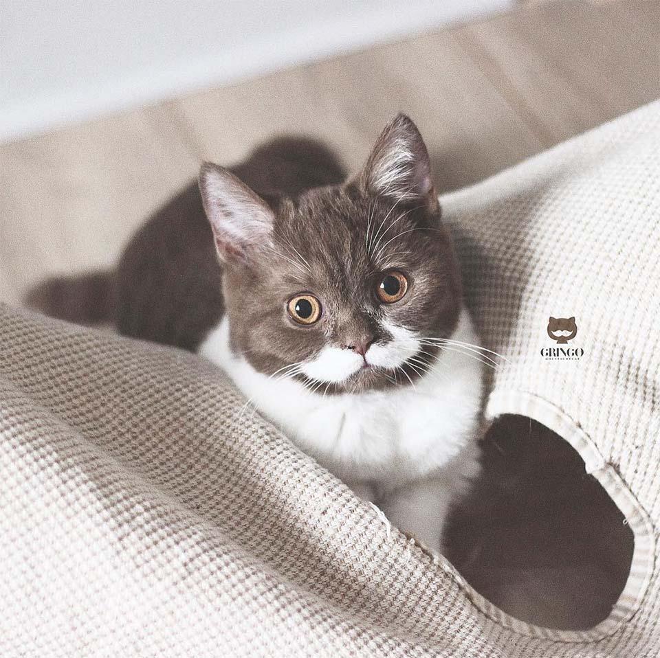 Gato Gringo