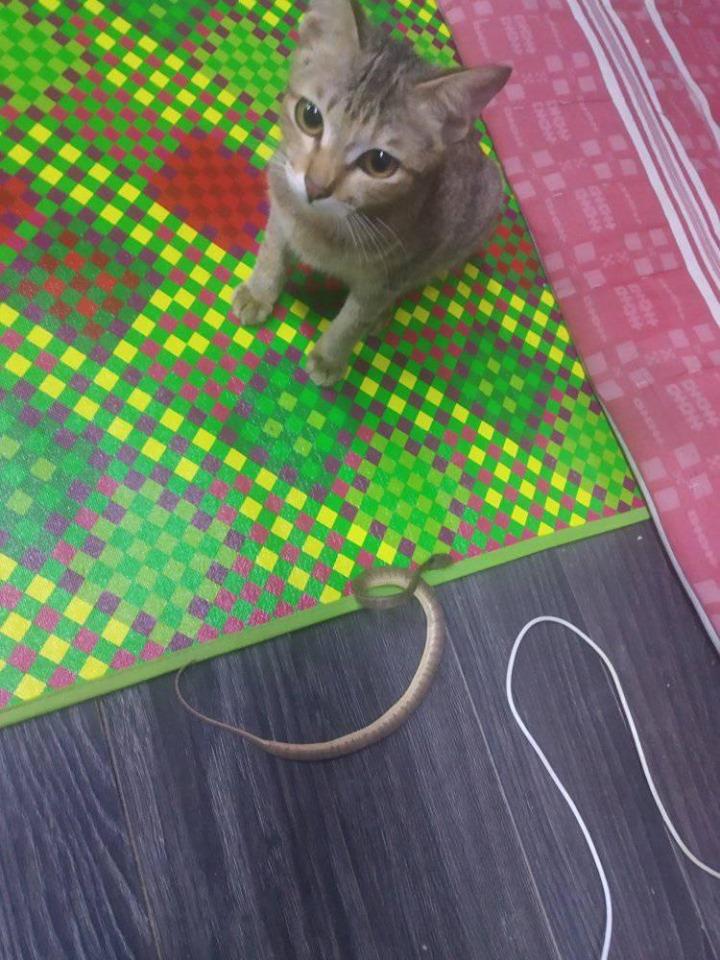 Gato trae serpiente