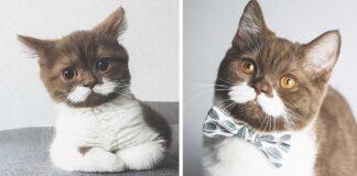 Gringo gato con bigote blanco
