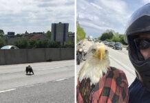 Hombre salva a un águila calva atrapada en el tráfico
