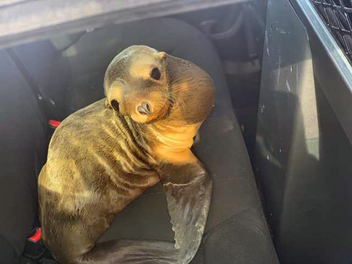 León marino arrestado