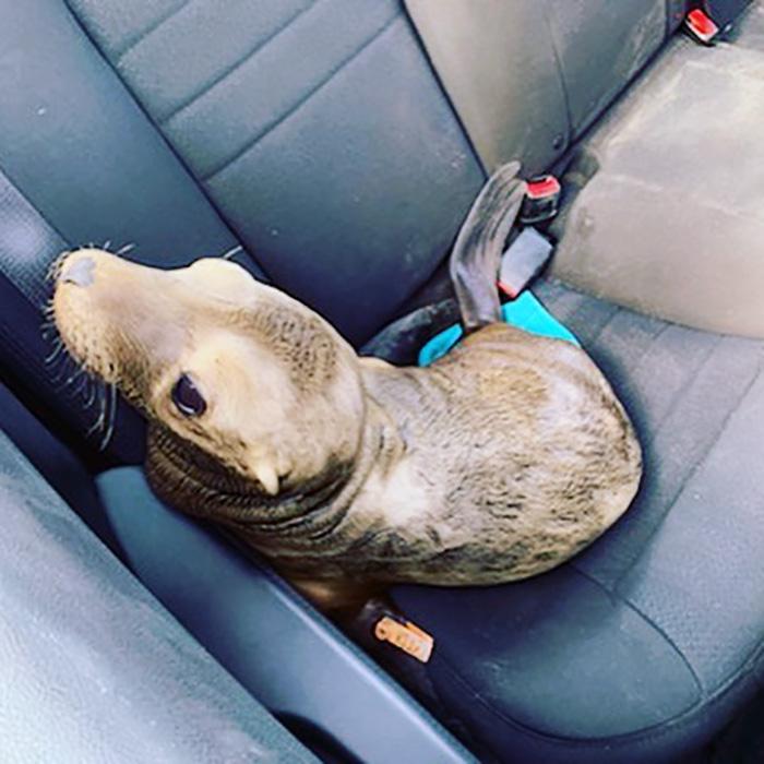 León marino en el tráfico