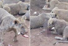 Leones criados en cautiverio viven en abandono en Sudáfrica