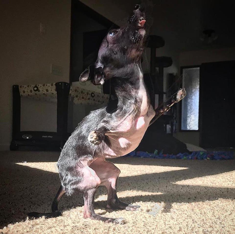 Perrito especial se sostiene sobre sus patas traseras