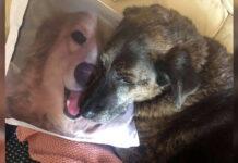Perro desconsolado abraza la almohada de su mejor amigo