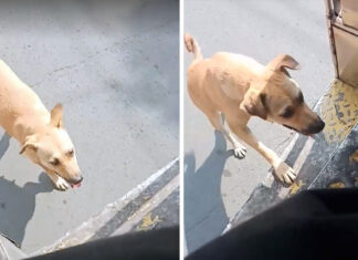 Perro persigue autobús hasta ser adoptado por el conductor
