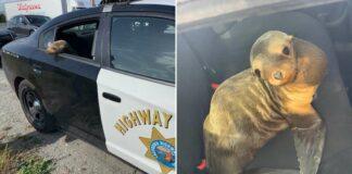 Policía arresta a león marino en una autopista