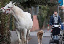 Yegua durante 14 años ha recorrido las calles sola todos los días