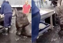 Enorme león marino entra a mercado de pescado para pedir un refrigerio