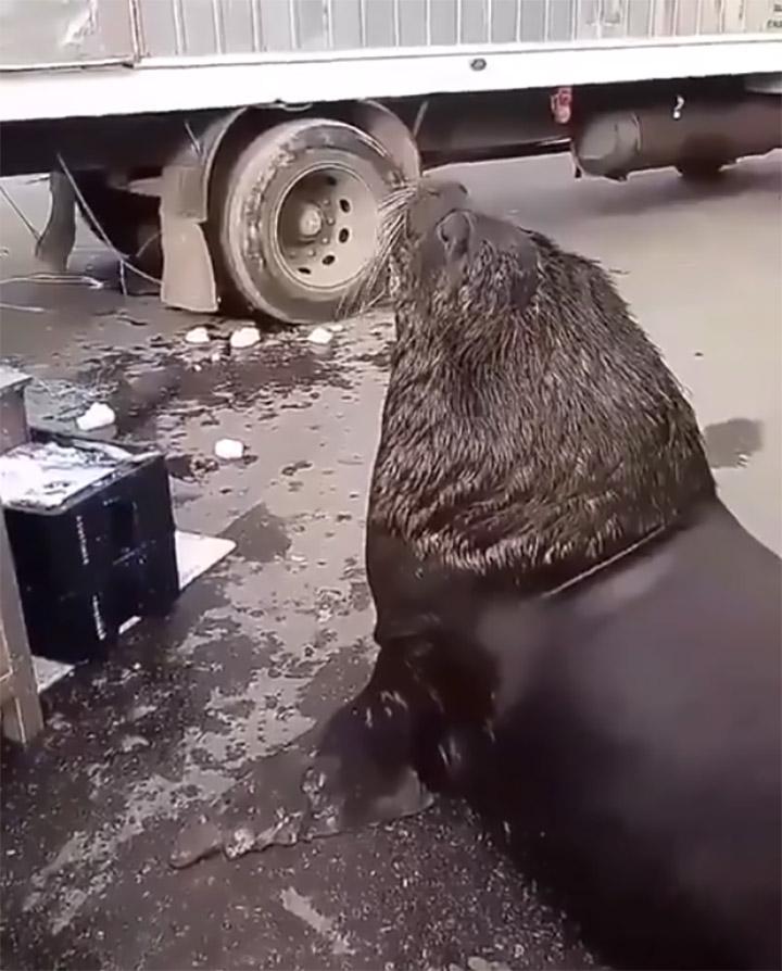 León marino