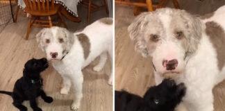 Perro no puede creer que adoptaran un nuevo cachorro sin consultarle primero