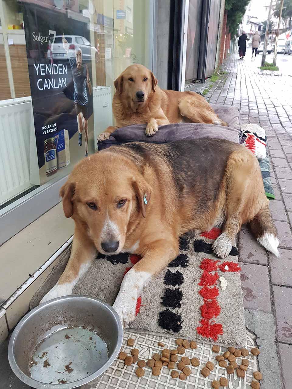 Perros sin hogar en Turquía