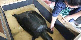 Última hembra de este tipo raro de tortuga ha fallecido