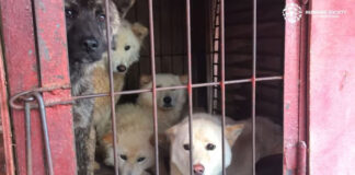 85 perros fueron rescatados de un mercado de carne canina en Corea