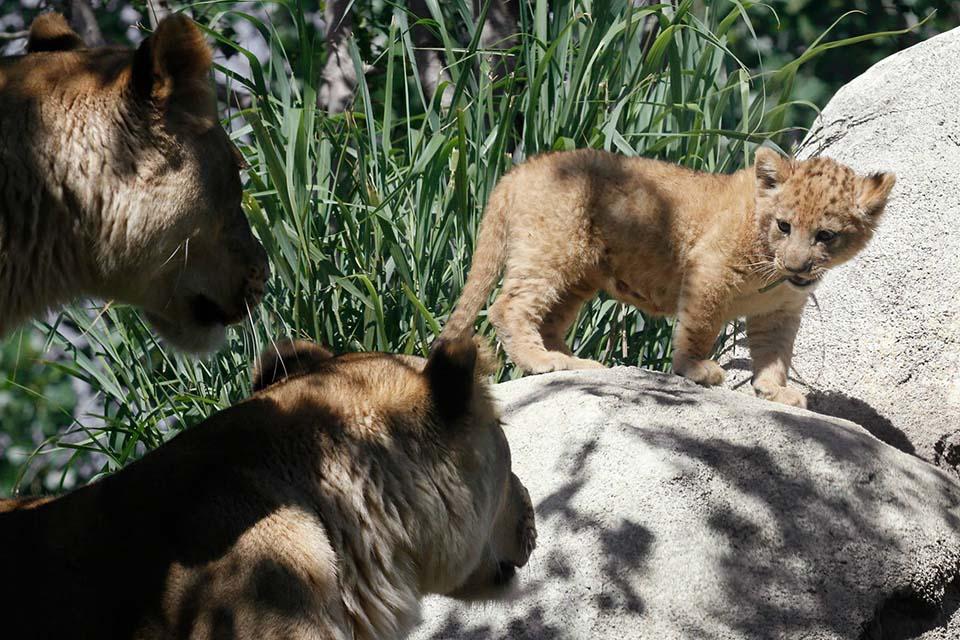 Adorable león