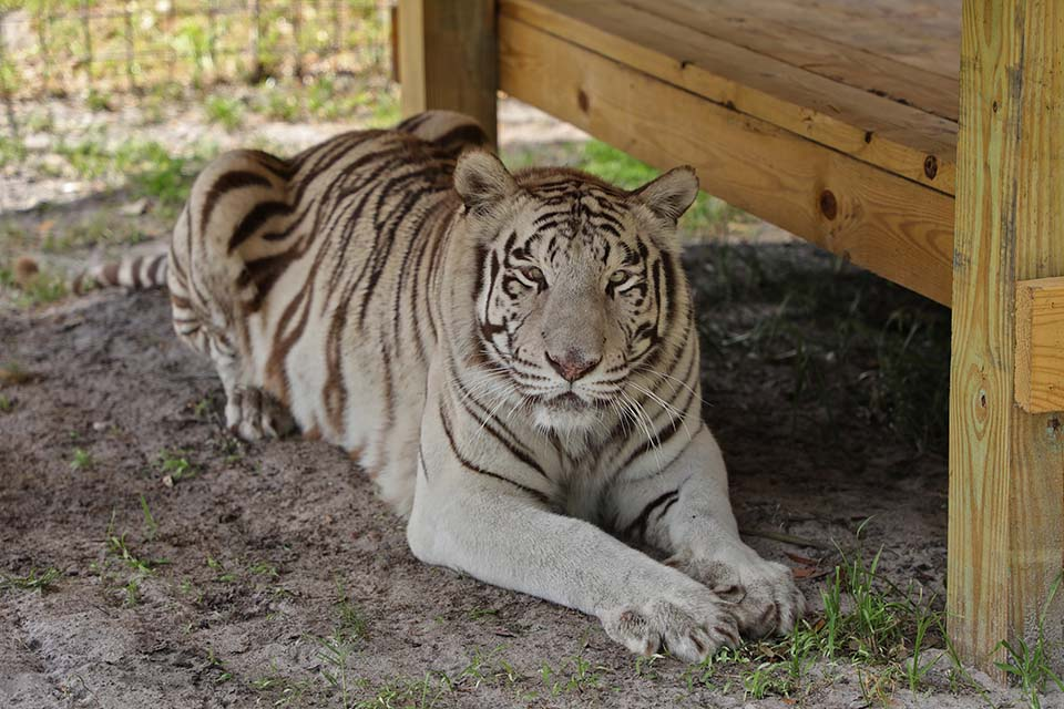 Adorable tigre blanco