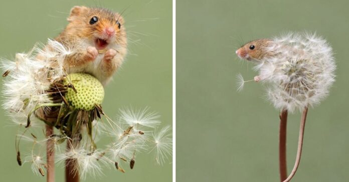 Adorables imágenes de ratones espigueros se han robado el corazón de todos