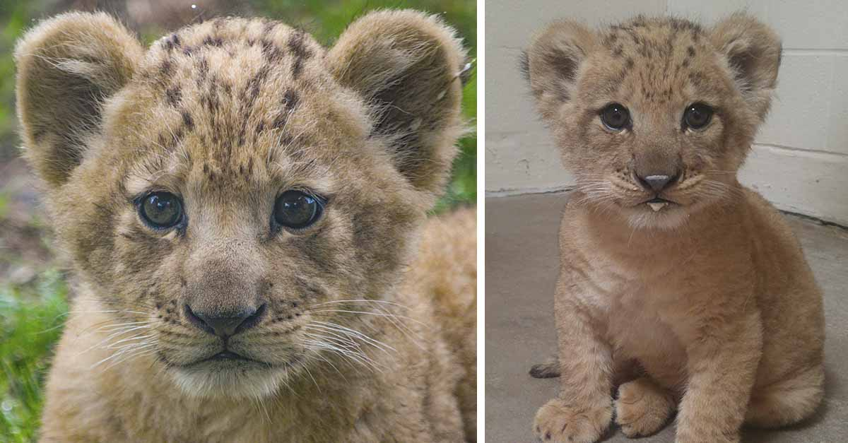 Conoce al adorable modelo de Simba para el remake del Rey León