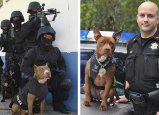 Departamentos de policía convierten a pitbulls de refugio en perritos K9