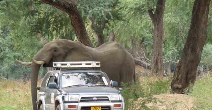 Elefante recibió un disparo en la cabeza y caminó durante días por ayuda