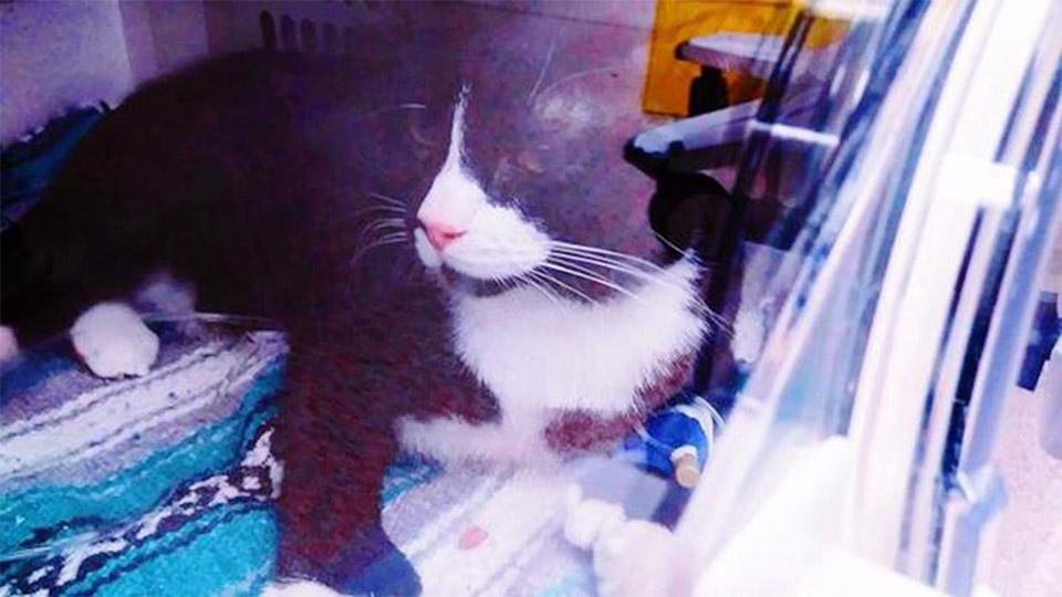 Gato en camara de oxigeno