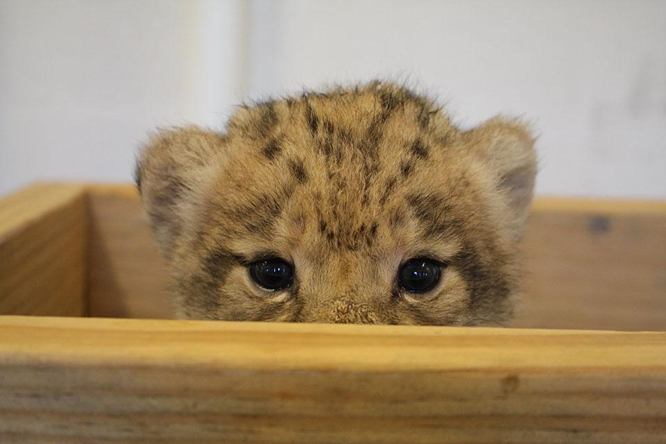 León cachorro en un cajón