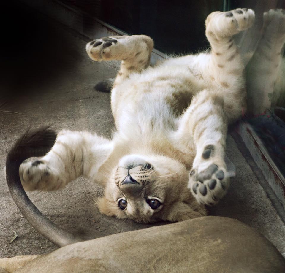 León cachorro juega en el piso