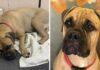 Noble perrita camina 125 millas para encontrar a quien la rechazó