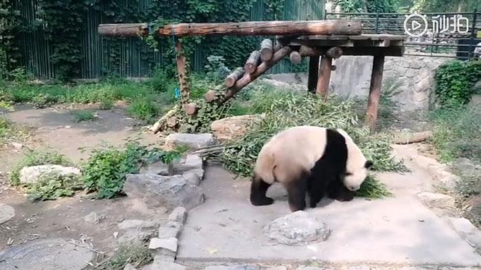 Panda gigante en su recinto