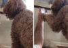 Perrito de asistencia reacciona dulcemente a videollamada de su madre
