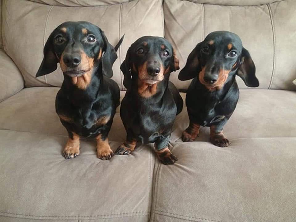 Perritos salchicha