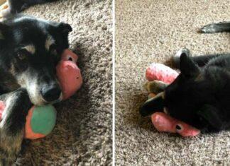Perro rescatado se relaja cuando obtiene su propio juguete