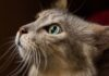 Prohíben en New York la extirpación de garras de los gatos
