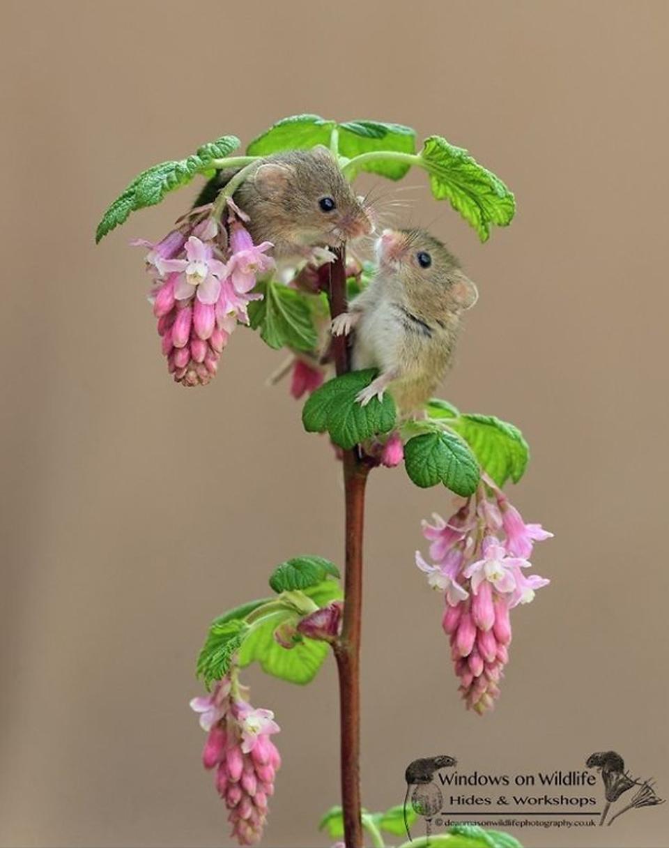 Ratón fotografiado