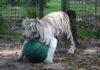 Tigresa blanca rescatada lleva sus juguetes favoritos consigo a todas partes