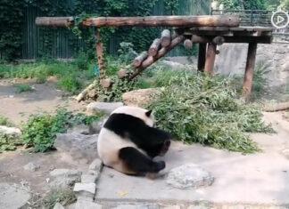 Turistas le arrojan piedras a un panda gigante en China