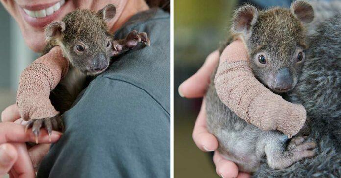 Bebe koala tiene un pequeño yeso después de haberse caído de un árbol