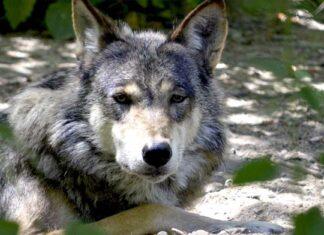EEUU autoriza el uso de bombas de cianuro para matar animales salvajes