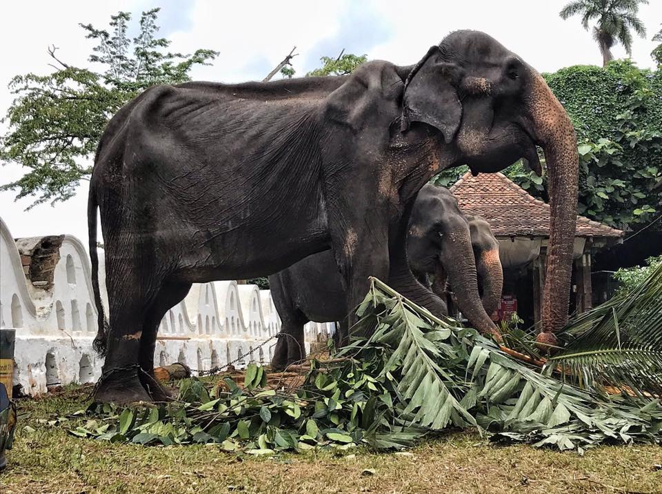 Elefante demacrado