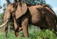Elefantes de selva contribuyen al medio ambiente pero están en peligro