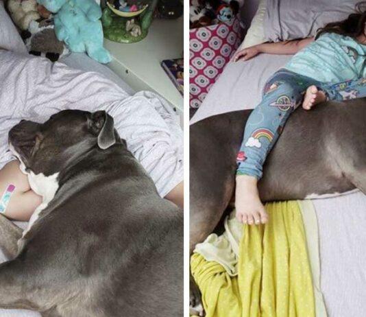 Este amoroso Pitbull no puede dormir sin su pequeña niña a su lado
