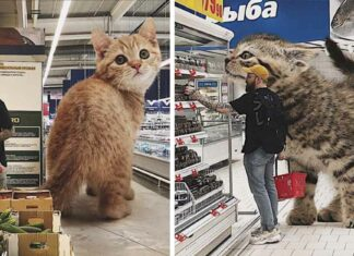 Hombre crea imágenes de como se verían los gatos mas grandes