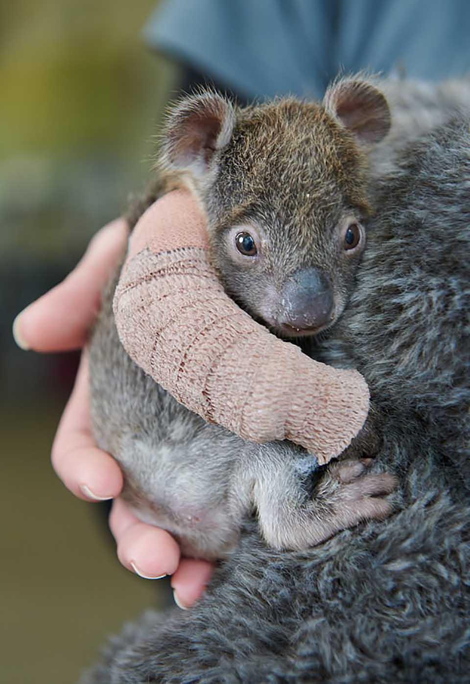 Koala huérfano
