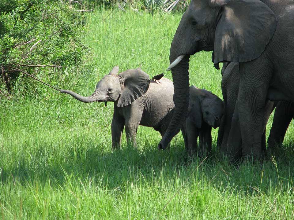 Pequeños elefantes con su madre