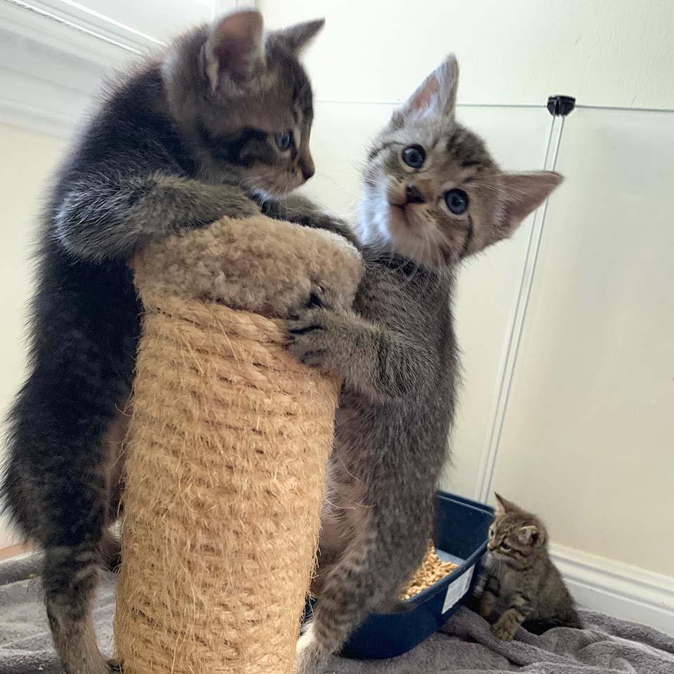 Pequeños gatitos juegan