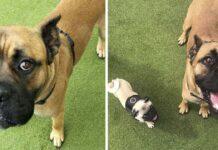 Perrito ayuda a un enorme perro asustado