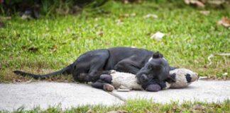 Perrito sin hogar encontraba consuelo en un oso de peluche