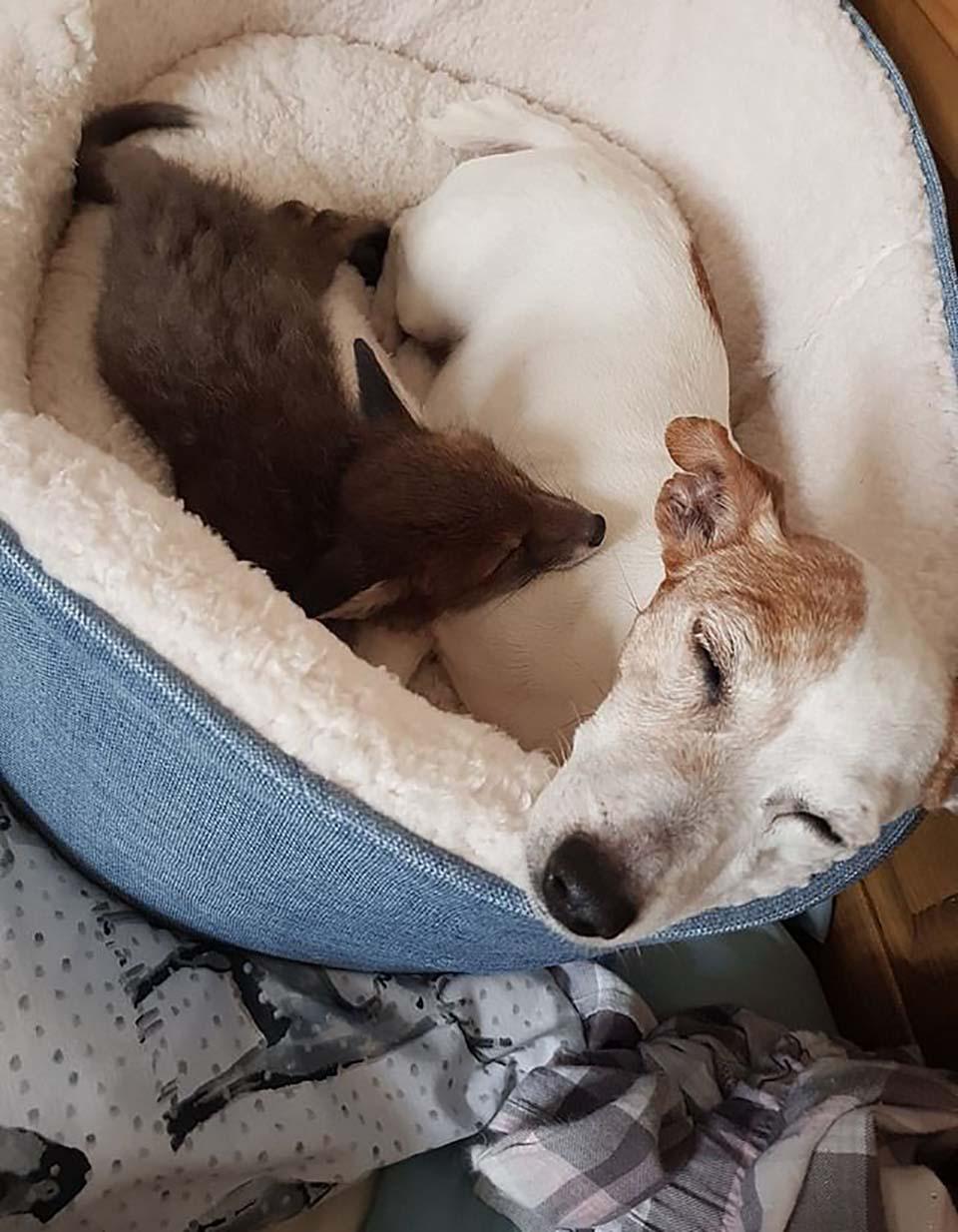 Perrito y zorra descansan juntos
